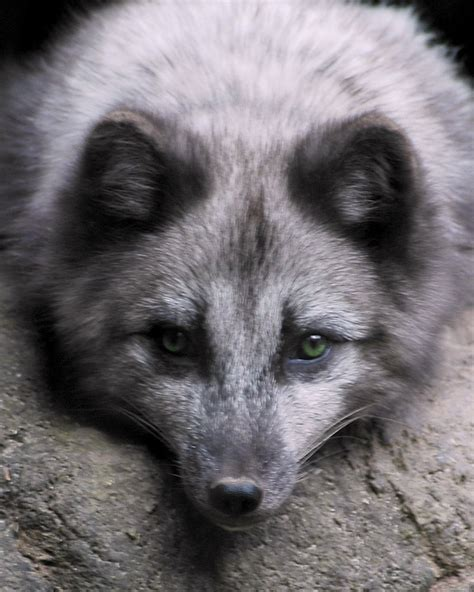 arctic blue blue arctic fox www imgkid com the image kid has it
