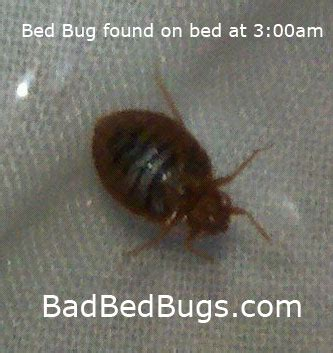 can you feel bed bugs crawl on you bed bug bites and quick help including these infestations tips
