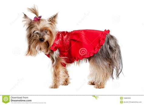 yorkie puppy clothes terrier in clothes stock photos image 19885393