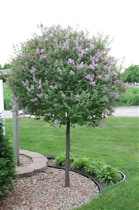 exceptional small landscaping trees 8 dwarf korean lilac