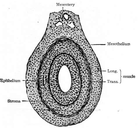 transverse section of small intestine anatomy of small intestine histology
