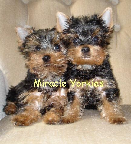 8 week yorkie puppies yorkies terriers yorkie breeder nc