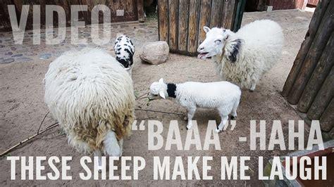 These Make Me Giggle baaa haha these sheep make me laugh to south