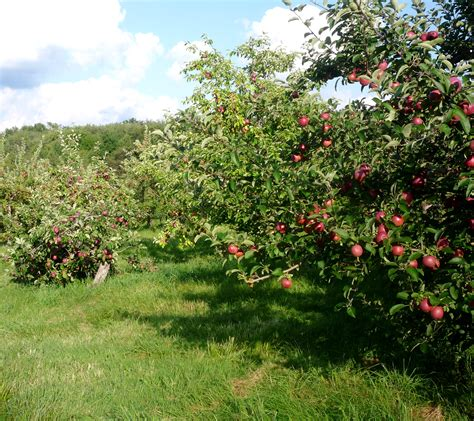 apple orchard maine apple festivals the thrifty new england traveler