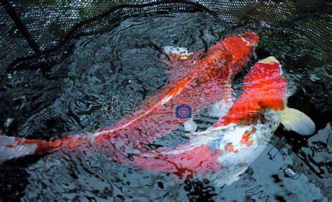 Bibit Ikan Koi Bekasi klikunic janji manis ikan koi