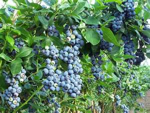 blueberry plants their types and benefits beabeeinc