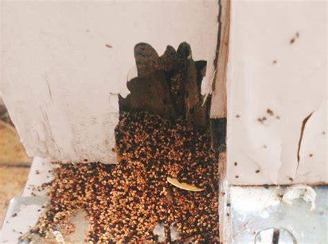 Pellet Like Stool by Drywood Termite Pellets At Door Jamb