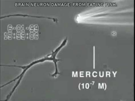 Mercury Detox Brain Damage by See What Mercury In Fish Actually Does To The Brain