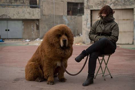 how much is a tibetan mastiff puppy tibetan mastiff show in china in pictures world news the guardian