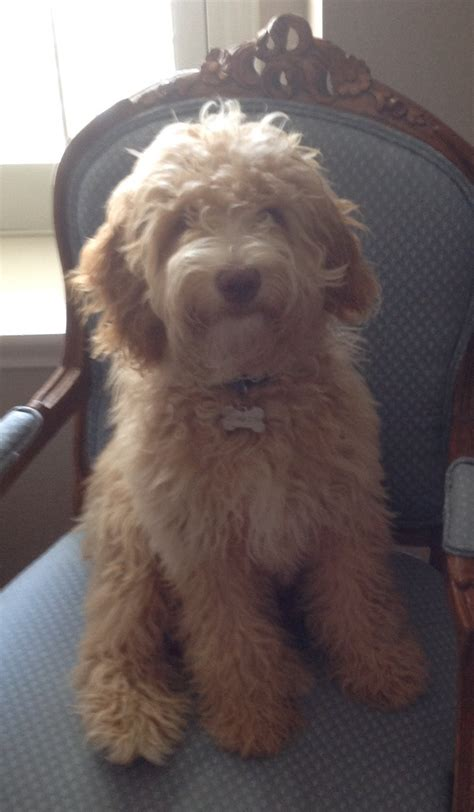 how to a puppy to go outside clumberdoodle rings bell when ready to go outside to play with rocks
