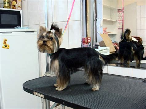 how to cut a yorkie s hair at home picture of a yorkie with schnauzer cut black hairstyle