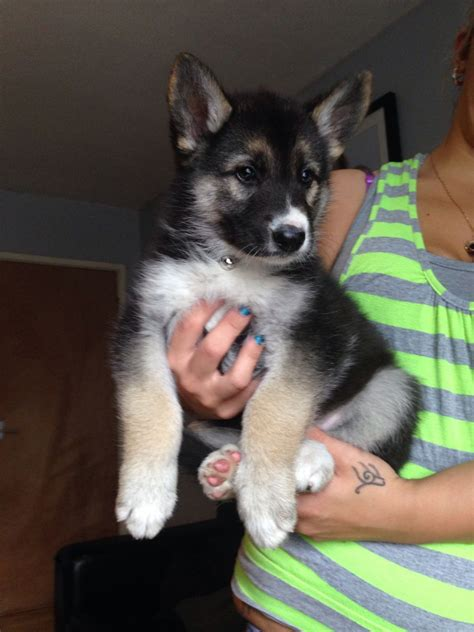 anchorage puppies siberian husky puppies dogs for sale in anchorage alaska ak news