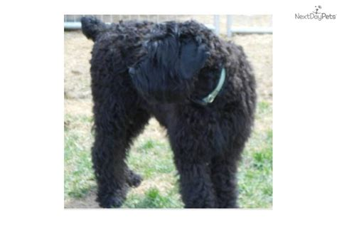 black russian terrier puppies for sale all about the black russian terrier info pictures breeders rescues breeds picture