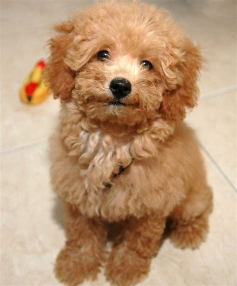 can my teacup poodle get the standard poodle haircut 14 things every poodle owner must know