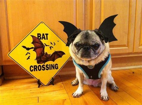 bat pug bat pug pugs and pups jena pug and pug costume