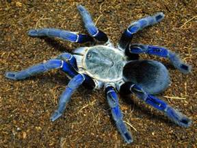 animal photo popular tarantula species