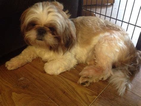 gold and white shih tzu puppies gold and white shih tzu southton hshire pets4homes