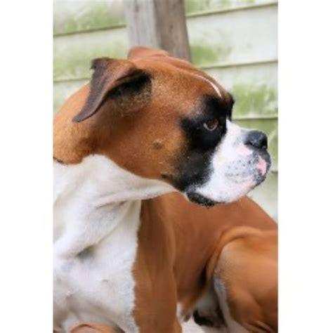 boxer puppies iowa boxer breeders in iowa freedoglistings breeds picture