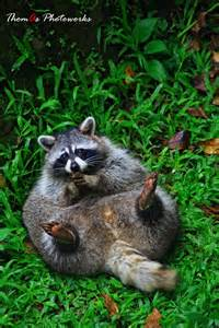Explore rocky raccoons funny racoons and more
