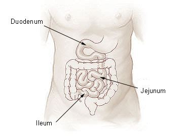 three sections of small intestine jejunum