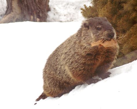 groundhog day wiki file emerged from hibernation in february groundhog takes