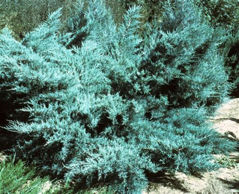 top 28 blue juniper evergreen shrub list dammanns juniperus scopulorum blue haven j c