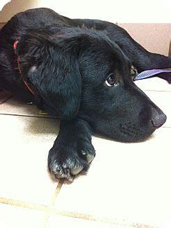 golden retriever rescue nashville tn adopted puppy nashville tn golden retriever flat coated retriever mix