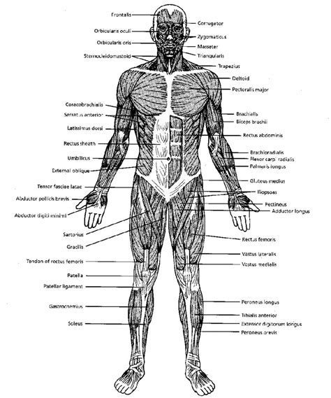 musculoskeletal system diagram diagrams biology muscular system black and white muscular