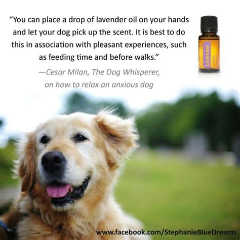 essential oils to calm dogs lavender and calming anxious dogs pups stuff