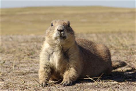 what do prairie dogs eat prairie wildlife research faqs