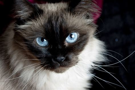 The Balinese the beautiful balinese cat