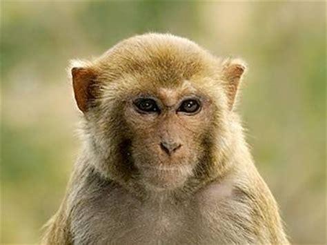 animali: per evitare gli incroci le scimmie hanno cambiato