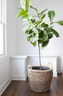 how to repot a fiddle leaf fig tree plants pinterest fiddle leaf fig tree fiddle leaf fig
