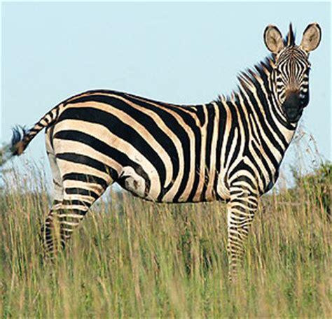 imagenes de animales cebra la cebra toda la verdad respecto de sus rayas vida salvaje