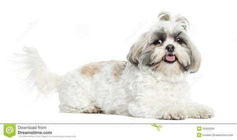 shih tzu lying shih tzu panting lying isolated stock photos image 32495063