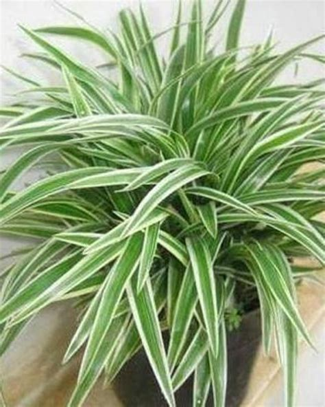 ide kreatif tanaman hias daun  indoor  outdoor