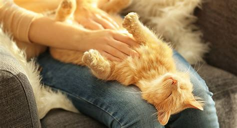 why do dogs like their belly rubbed do cats like belly rubs the happy cat site