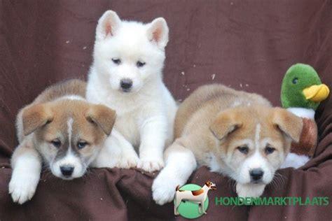 honden pups advertenties honden pups te koop vinden of akita inu pups te koop honden