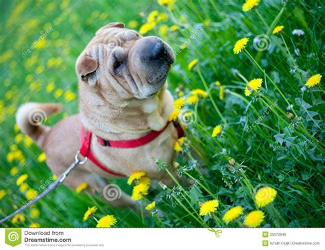 dogs with yellow sharpei with yellow flowers royalty free stock image image 25572646