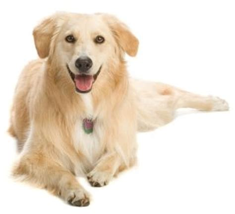 information on golden retriever facts about golden retrievers history of the breed