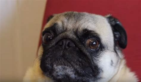 pug sound wait until you hear this pug howl i ve never heard a howl quite like this