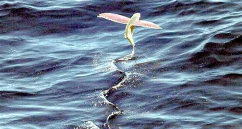 pesci volanti dopo la foca ecco i pesci volanti avvistati a venezia