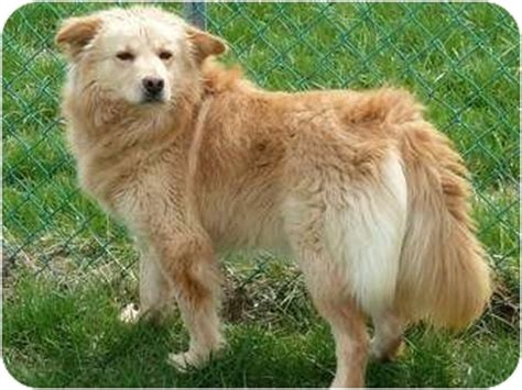 golden retriever american eskimo mix lindy adopted waynetown in golden retriever