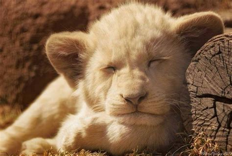 creature comforts cat baby lion cub goin sleep