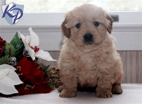 mini goldendoodles for sale in pa 17 best ideas about miniature labradoodle for sale on