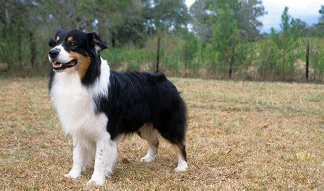 australian sheperd puppies australian shepherd breed information