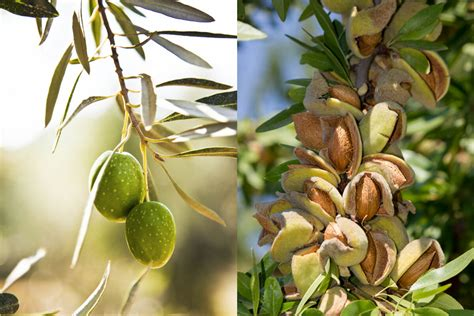 california olive growers cutting  orchards modern farmer
