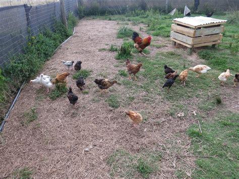 Chickens La Piccolina Farm Chicken In Backyard