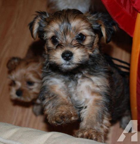 teacup shorkie puppies for sale tiny teacup shorkie puppies for sale in clearfield kentucky classified