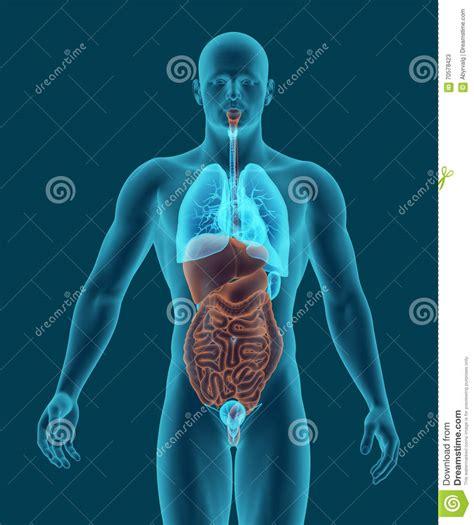 interno corpo umano il corpo umano con gli organi interni 3d dell apparato